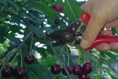 Kirschbaumschnittkurs[4]