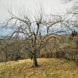 Alter Obstbaum