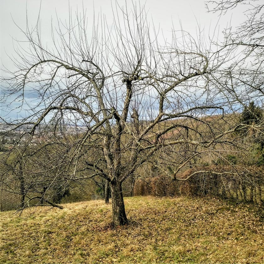 Alter Obstbaum